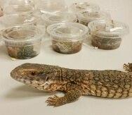 Un lagarto sabana monitor y varias especies de ranas peligrosas para la fauna de Puerto Rico, como las aves y coquíes, fueron incautadas por Recursos Naturales. (Suministrada / DRNA)