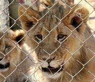 En esta foto provista por Blood Lions, una pareja de leones jóvenes están cautivos en una instalación para turistas en Sudáfrica. (Pippa Henkinson / Blood Lions via AP)