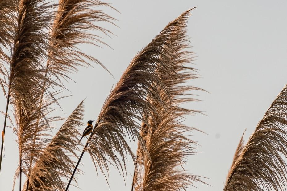 Un turpial (icterus icterus) reposa sobre un tipo de grama que alcanza varios pies de altura que se puede encontrar en Aguada.