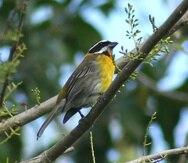La reina mora (spindalis portoricensis) fue una de las especies cuya ocupancia bajó moderadamente, entre un 20% y 40%.