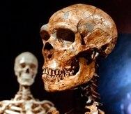 Esta foto del 8 de enero del 2003 muestra un esqueleto reconstruido de neandertal y un esqueleto humano moderno en exhibición en el Museo de Historia Natural en Nueva York.