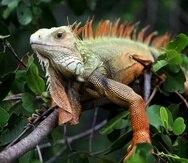 El último censo de Recursos Naturales, realizado en el 2012,  indicó que existían alrededor de cuatro millones de iguanas en la isla. De acuerdo con un comunicado de prensa difundido en el 2016, la población de iguanas supera los 10 millones.