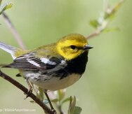 Reinita Verdosa (Black-throated Green Warbler) - (Suministrada por Gabriel Lugo)