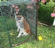 Para capturar al mono, el Cuerpo de Vigilantes del DRNA preparó una jaula con frutas y alimentos.