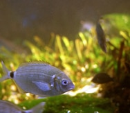 Descubren que algunos peces marinos se adaptan al agua dulce