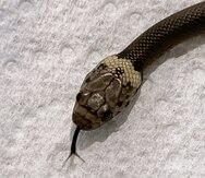 Hombre en Australia encuentra serpiente en lechuga comprada en un supermercado