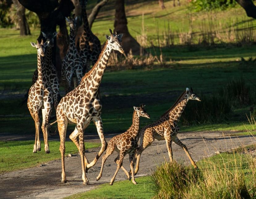 Joven jirafa Masai en el Safari Kilimanjaro en el Disney's Animal Kingdom.