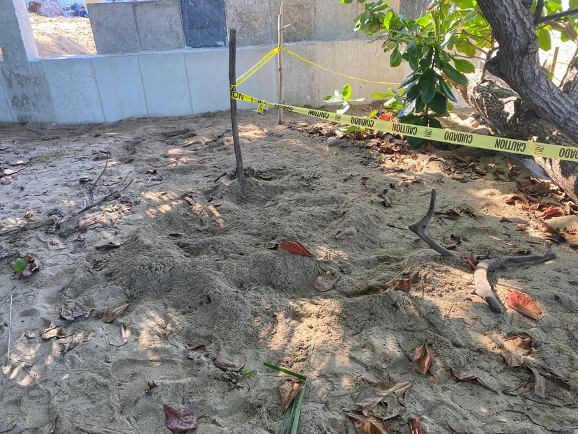 En la imagen se aprecia la arena suelta que corresponde al nido nuevo, justo al lado del perímetro marcado con el nido anterior que colocó el carey..
