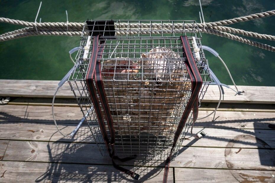 Los BioHUTS son, en esencia, canastas construídas en acero inoxidable que imitan las raíces de los mangles rojos que sirven de hábitat natural para muchas especies de peces y crustáceos.