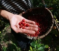 Las siembras de café se dan una vez al año, y en estos momentos se encuentran en su periodo cumbre de cosechas, lo que, en caso de sufrir los estragos de Irma, pone a la isla en riesgo de perder las cosechas. (Archivo / GFR Media)