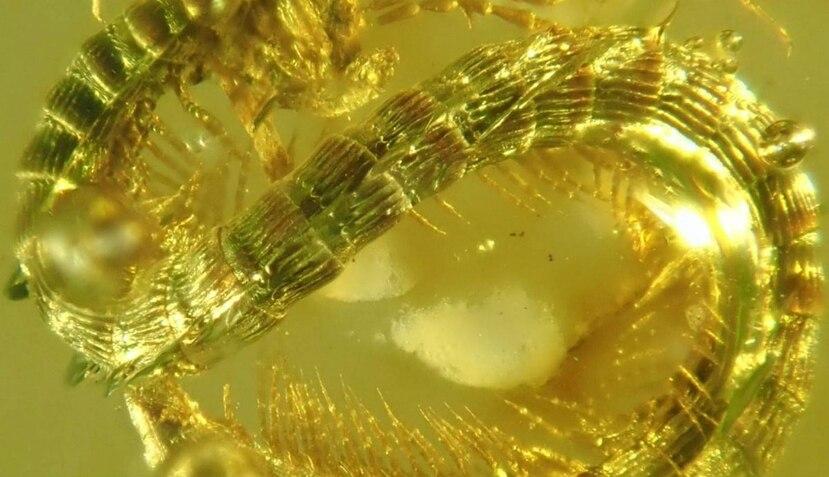 La morfología que presenta este insecto es completamente diferente a los actuales. (YouTube/ SciNews)