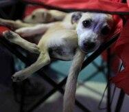 La medida de Romero le permite a la Junta otorgar licencias provisionales a veterinarios, técnicos o tecnólogos licenciados en otra jurisdicción si ofrecen sus servicios de manera gratuita o pro bono.
