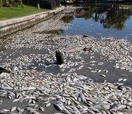 Cuatro biólogos, un experto en biodiversidad marina y dos técnicos en calidad del agua están tomando muestras para determinar el motivo de la muerte de los miles de ejemplares, indicó a Efe el responsable de comunicación Estarlin Taveras. (Archivo AP)